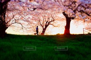 夕日に照らされる桜並木の写真・画像素材[1841059]
