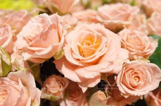 ピンクの薔薇🌸の写真・画像素材[1757119]