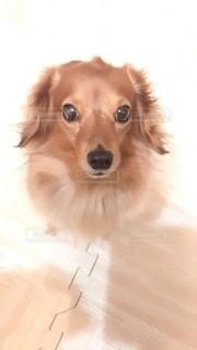 甘えたいときとおやつがほしい時は上目遣いをする愛犬の写真・画像素材[2739669]