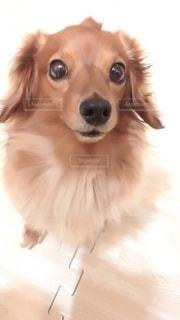カメラを見ている茶色と白の犬の写真・画像素材[2739670]