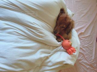 ふかふかお布団が大好きな愛犬の写真・画像素材[2763092]