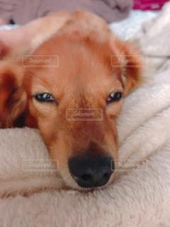 ベッドに横たわっている犬のクローズアップの写真・画像素材[2814187]
