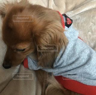 癒される愛犬の寝顔の写真・画像素材[2814208]