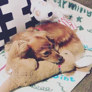 ソファーで寛ぐ愛犬の写真・画像素材[2814221]