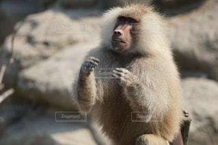 猿の写真・画像素材[196619]