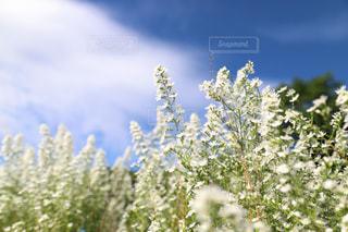 白い花の写真・画像素材[2449603]