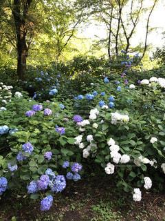 庭の紫陽花の写真・画像素材[1760405]