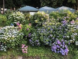 紫陽花の庭の写真・画像素材[1760407]