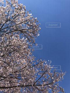 2019 初桜の写真・画像素材[1879383]