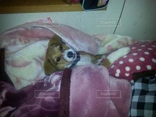 犬の写真・画像素材[61825]