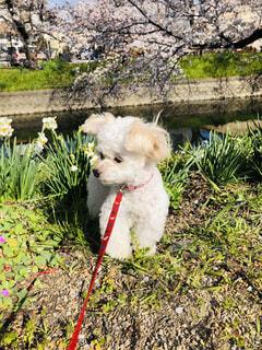 草の中の小さな白い犬立っての写真・画像素材[1922420]