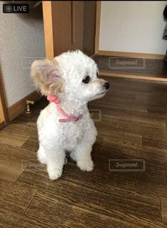 部屋に立っている小さな白い犬の写真・画像素材[2852823]