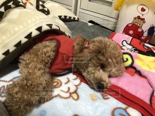 ぬいぐるみでベッドで寝ている犬の写真・画像素材[2857343]