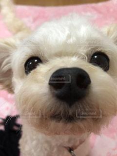 カメラを見ている小さな白い犬の写真・画像素材[2896345]