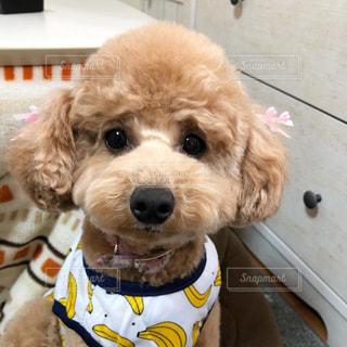 衣装を着た犬の写真・画像素材[3039728]
