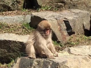 岩の上に座っている猿の写真・画像素材[3056076]