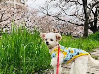 草の中に座っている茶色と白の犬の写真・画像素材[3062796]