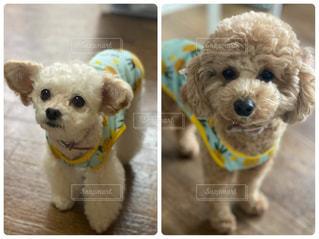 小さな茶色と白の犬の写真・画像素材[3122078]