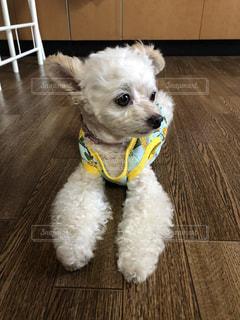 床に座っている小さな白い犬の写真・画像素材[3279075]