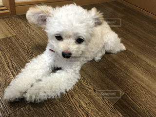 テーブルの上に座っている小さな白い犬の写真・画像素材[3354634]
