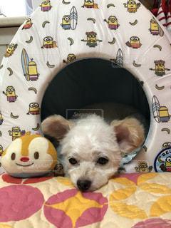 ベッドに横たわっている犬の写真・画像素材[3382225]