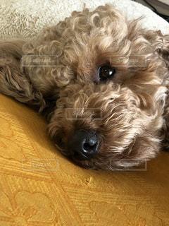横になって、カメラを見ている犬の写真・画像素材[1762575]