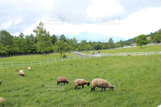 草原で放牧の羊の群れの写真・画像素材[1763571]