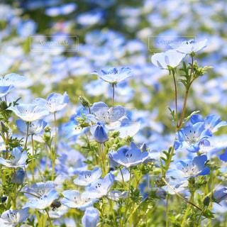青い花の写真・画像素材[1763578]