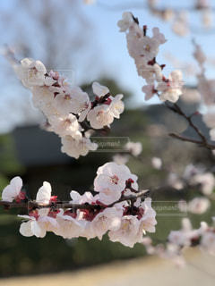 桜が咲いたの写真・画像素材[1763607]