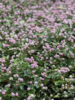 ピンク色の可愛い花の写真・画像素材[1767441]