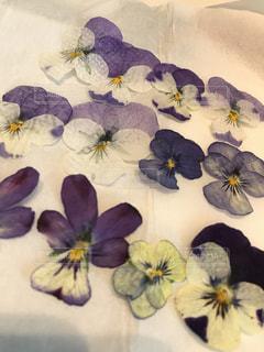 アイロンを使って押し花の写真・画像素材[1763432]