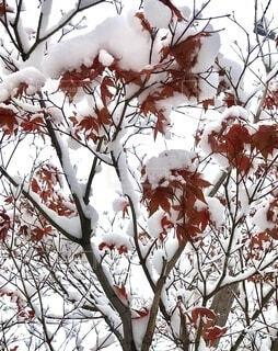 紅葉に積雪の写真・画像素材[4117211]
