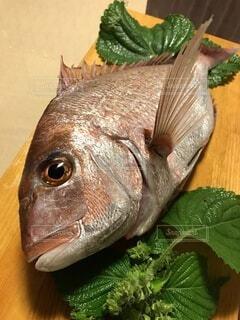 釣りたての鯛の写真・画像素材[4117292]