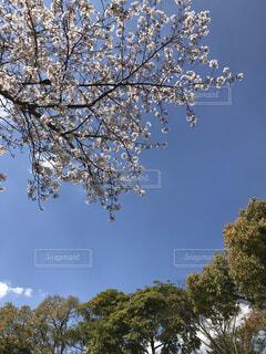 ソメイヨシノと樹木〜遅咲の桜〜の写真・画像素材[4187182]