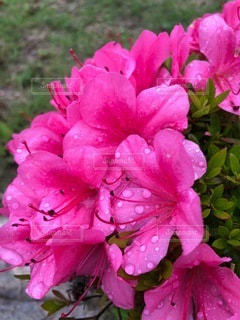 ピンクのツツジのでクローズアップの写真・画像素材[3352045]