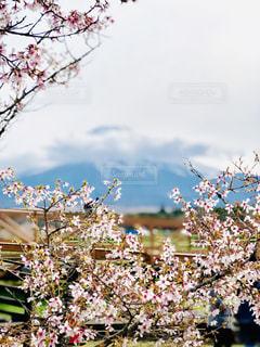 桜の写真・画像素材[2076285]