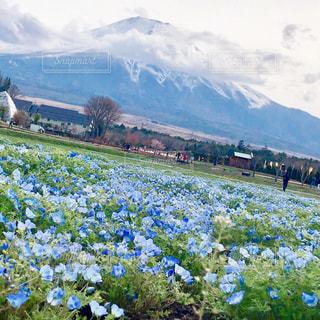 富士山🗻とネモフィラの写真・画像素材[2080972]