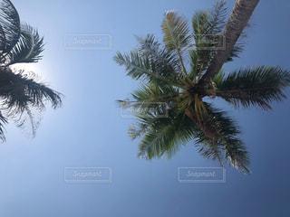 フーコック島のヤシの木の写真・画像素材[1767122]