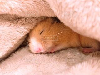 お昼寝中のハムスターの写真・画像素材[1767745]