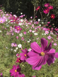 紫色の花一杯の花瓶の写真・画像素材[1768073]