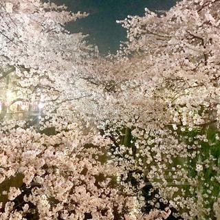 桜の写真・画像素材[1768557]