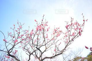 まだまだ寒い空に向かって咲く梅の写真・画像素材[1817719]