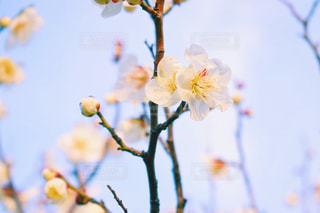 寒い空と梅の花の写真・画像素材[1817721]