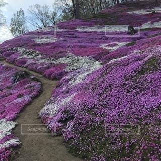 紫色の花のグループの写真・画像素材[2183011]