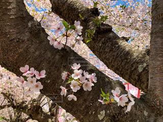 桜の写真・画像素材[2080435]