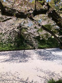桜の写真・画像素材[2327714]