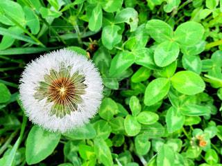 タンポポの綿毛の写真・画像素材[3235057]