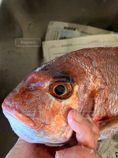 鯛を持つ手の写真・画像素材[4414568]
