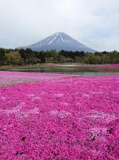 富士山と芝桜の写真・画像素材[1772682]