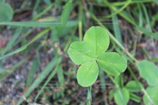 四つ葉のクローバーの写真・画像素材[1774042]